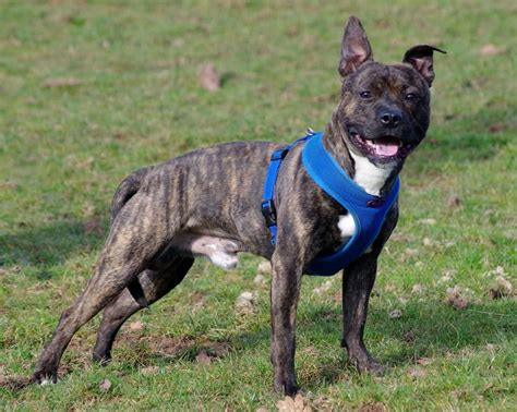 Mike – 18 month old male Staffordshire Bull Terrier dog