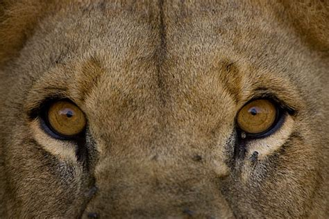 lions Archives - Animal Fact Guide