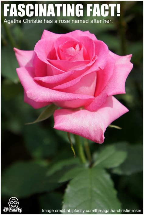 Agatha Christie has a rose named after her