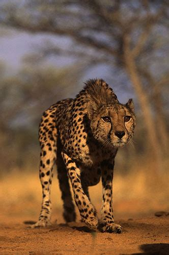 A Mixed Hirse And Cheetah Pictures and Images