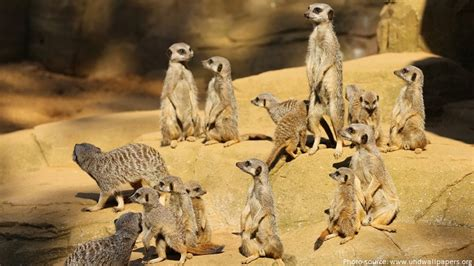 Interesting facts about meerkats | Just Fun Facts