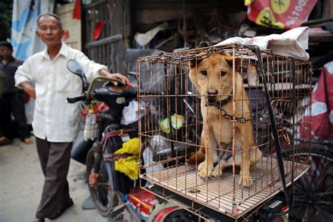 Yulin dog meat festival: Thousands of stolen dogs to be