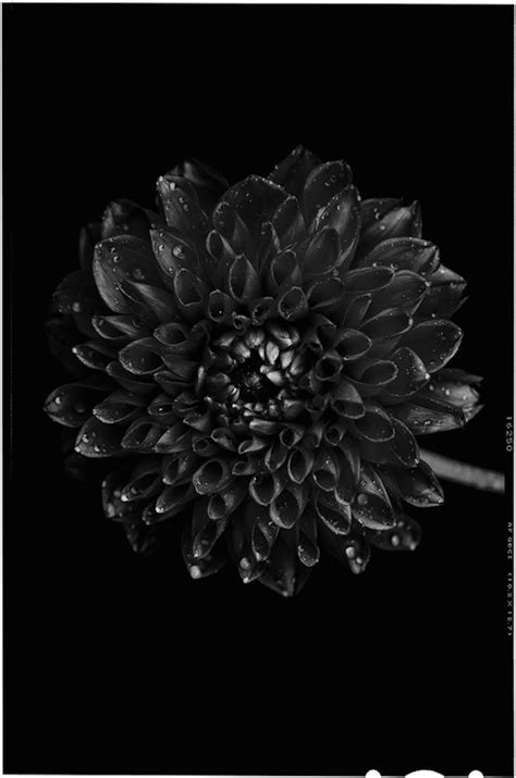 Bettina Güber and her Black to Black Flowers