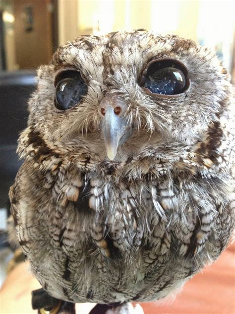 White Wolf : Meet Zeus: The Rescued Blind Screech Owl With