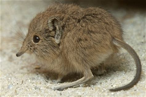 Look At This Baby Elephant Shrew