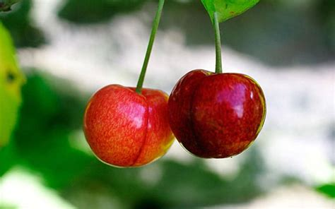 How to grow the perfect cherries with the RHS | The Telegraph