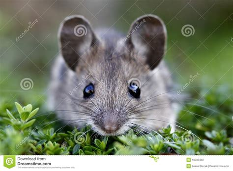 Scared house mouse stock image