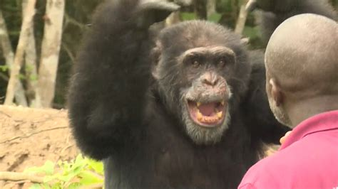 See How a Lone Chimp Finds Solace With His Human Caretaker