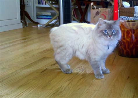 Get to Know the Manx: A Mighty Hunter and Sweet Companion
